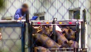 Rząd PiS obniża standardy ochrony zwierząt rzeźnych